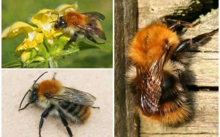 Description and photos of the field bumblebee