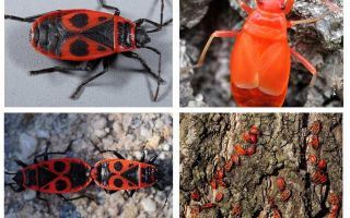The bug of the soldier (Red wingless wingless)
