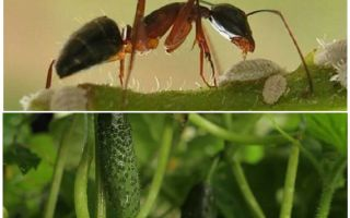 How to deal with ants in the garden with cucumbers