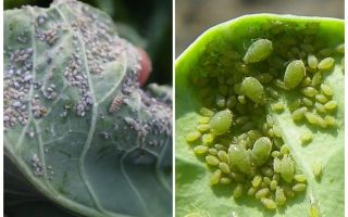 How and what to process aphids on cabbage