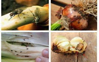 How to get rid of onion midges