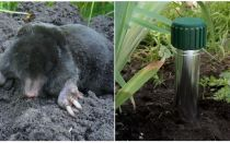 How to get rid of moles in the summer cottage and garden
