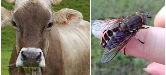 How to treat a cow from gadflies and gadflies at home