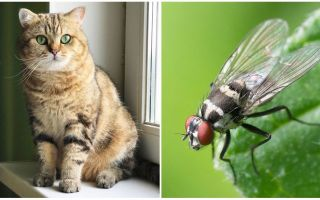 What to do if a cat or cat ate a fly