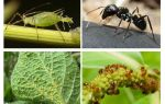 Type of relationship of ants and aphids