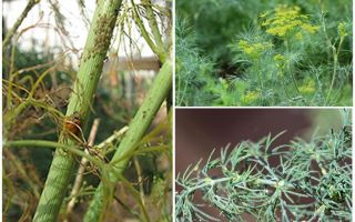 What and how to get rid of aphids in dill