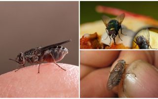 Why flies land on humans