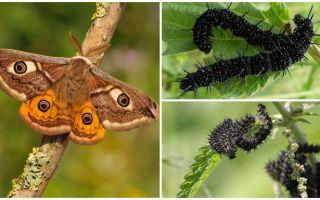 Description and photo of the caterpillar of the peacock eye
