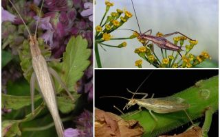 Description and photos of the Crimean cricket