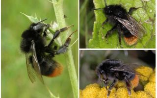 Description and photo of a stone bumblebee