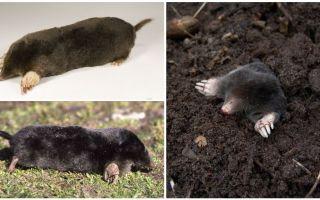 Common Moles (European)