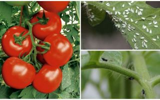 How to process tomatoes from white and black flies