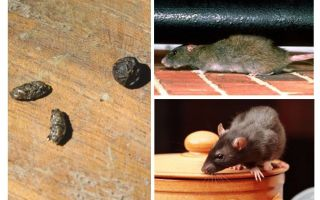 How to deal with rats in the apartment