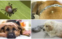 Symptoms and treatment of piroplasmosis in dogs