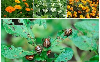 Fighting the Colorado potato beetle without chemistry