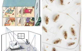 How to get rid of domestic fleas
