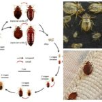 Stages of development of bedbugs