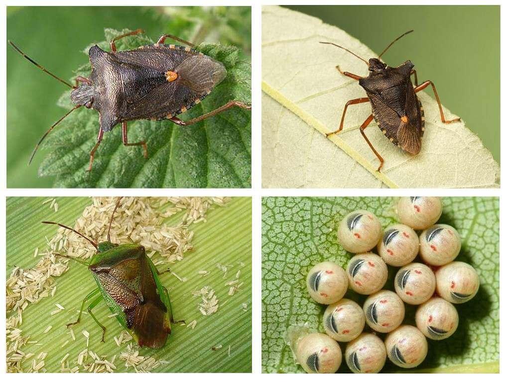 Meža bug