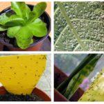 Blackflies in indoor plants