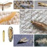 Apģērbu moth