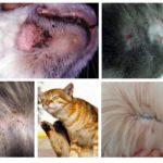 תסמינים של פרעושים אצל חתולים
