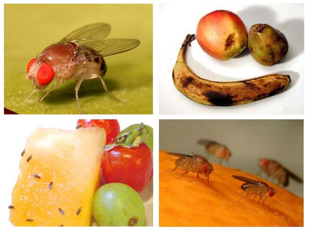 זבובי פירות