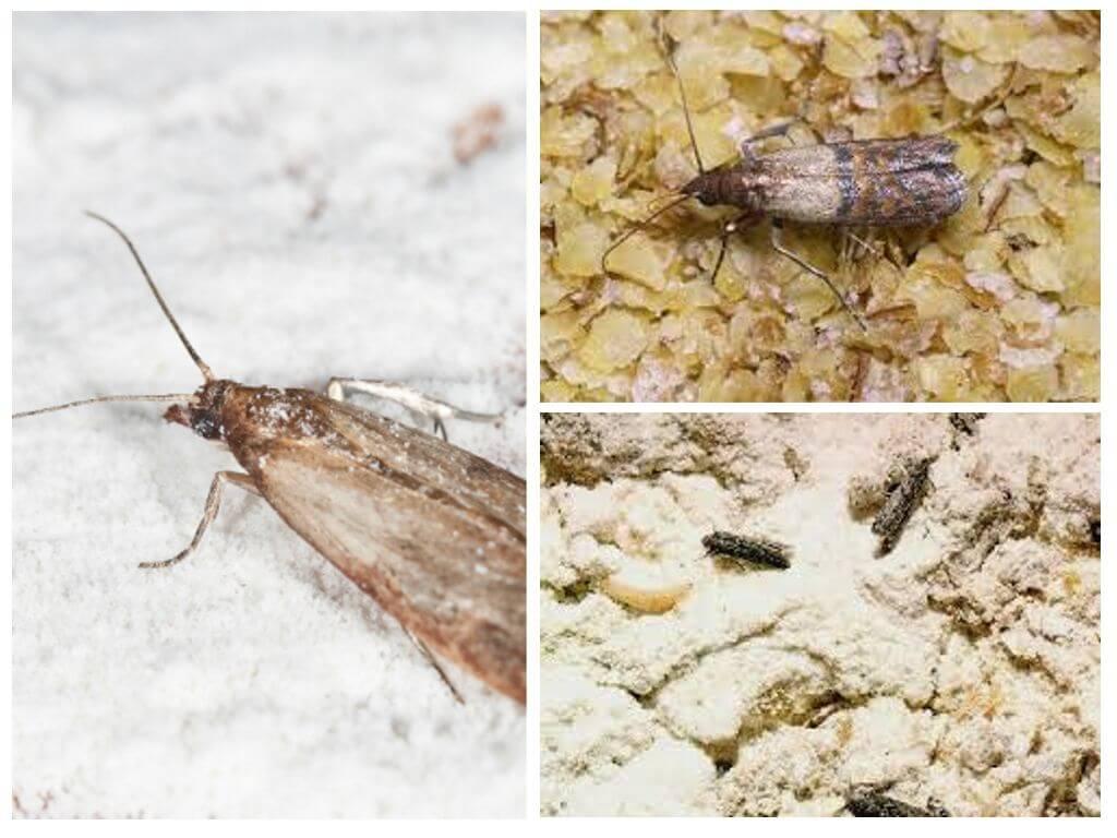 Graudaugu moth