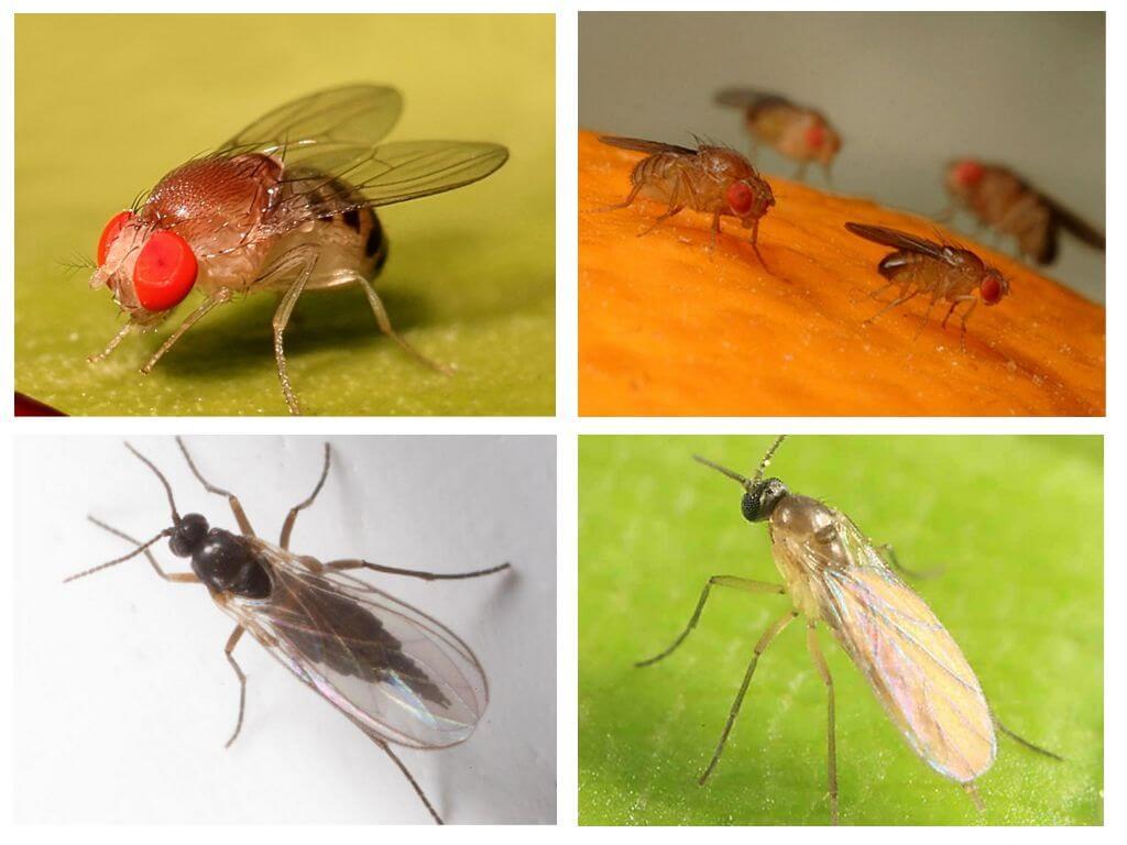 זבובים תזונתיים ו scriads