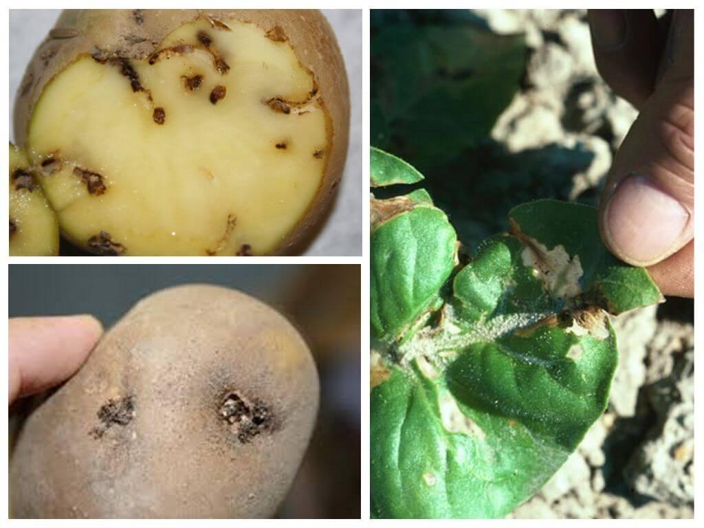 Kartupeļu kožu pēdas