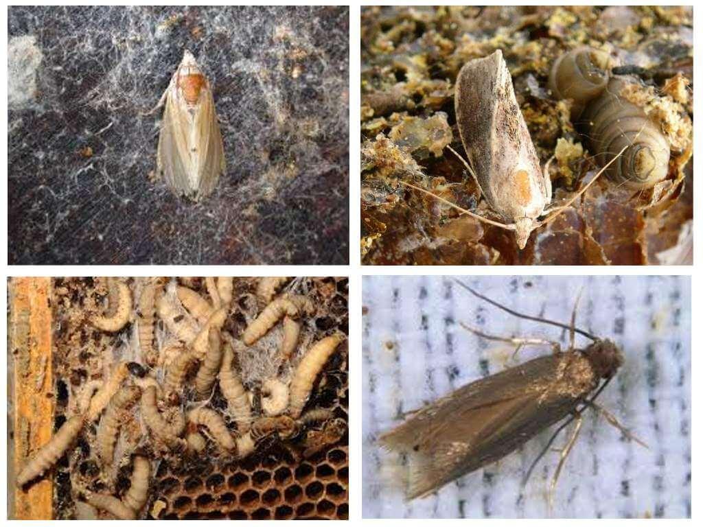 Vaska moth