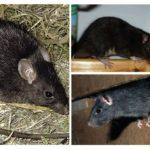 עכברוש שחור
