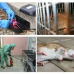 השמדה של חולדות ועכברים