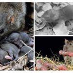 חולדה עם עכברושים