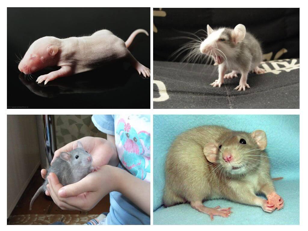 Žurku mazuļi