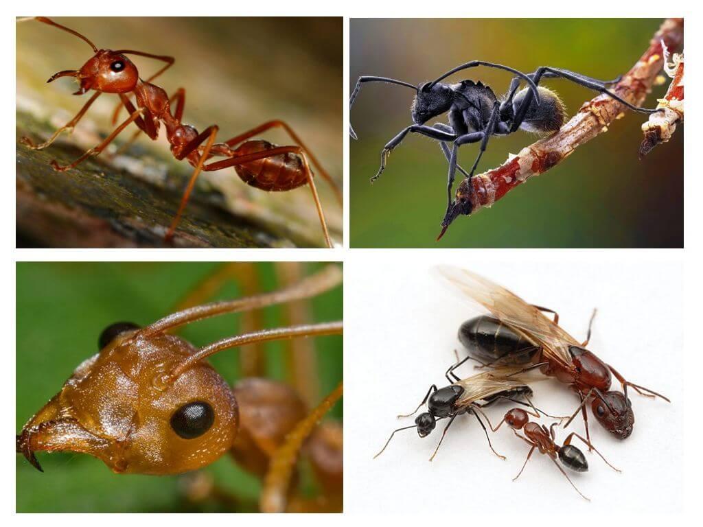 גוף הנמלה