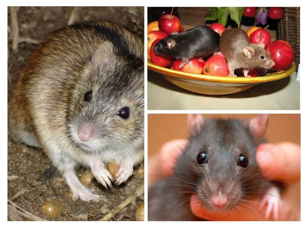 אוכל עכבר