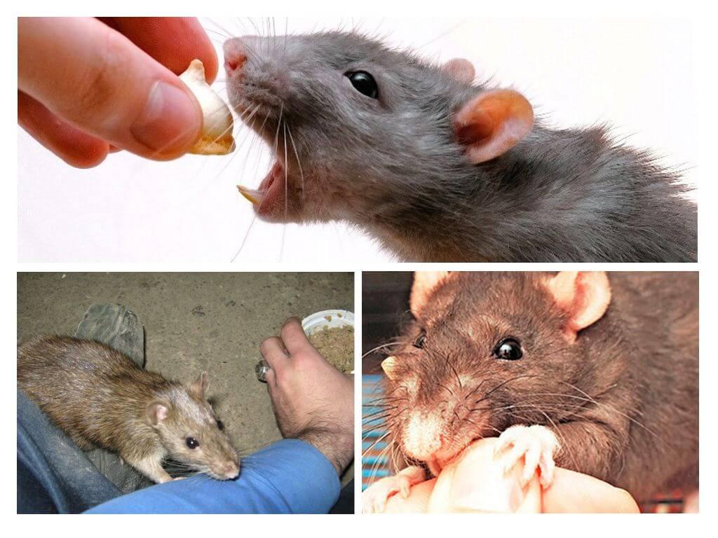 התנהגות נשיכת עכברוש