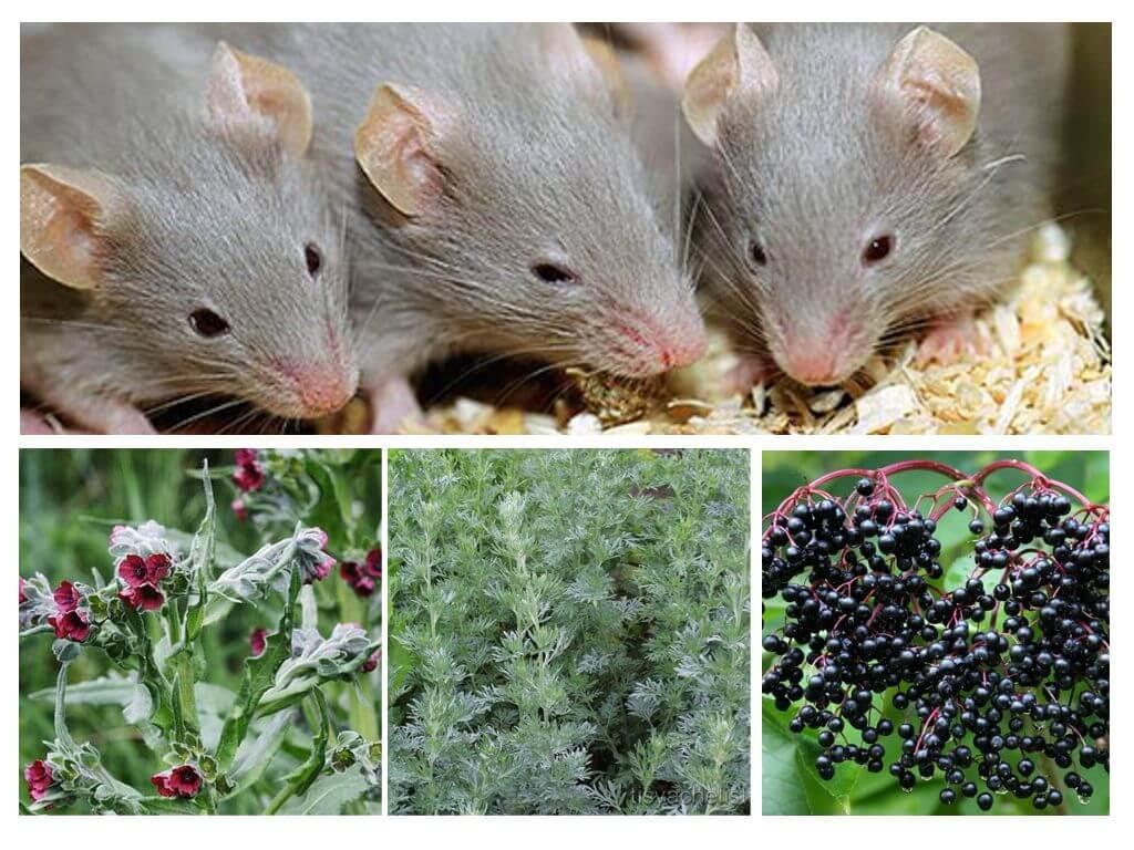עשבי תיבול מעכברים
