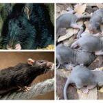 גידול עכברושים