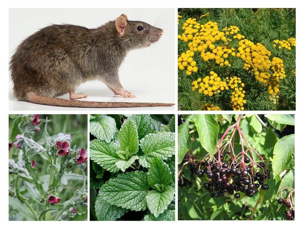 צמחים עכברוש