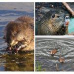 עכברוש מים
