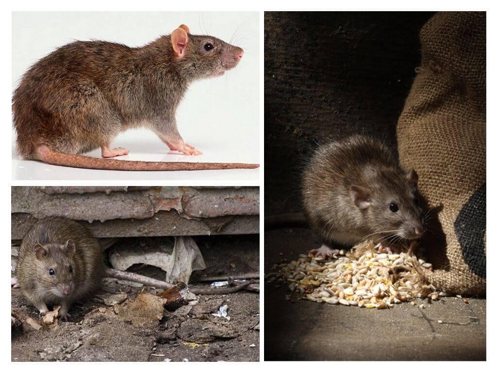 נזקי עכברוש
