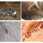 Govju utis