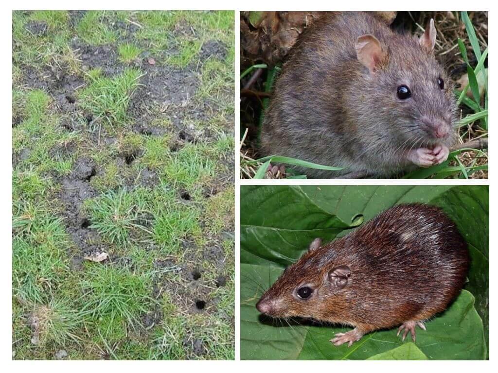 עכברוש כדור הארץ