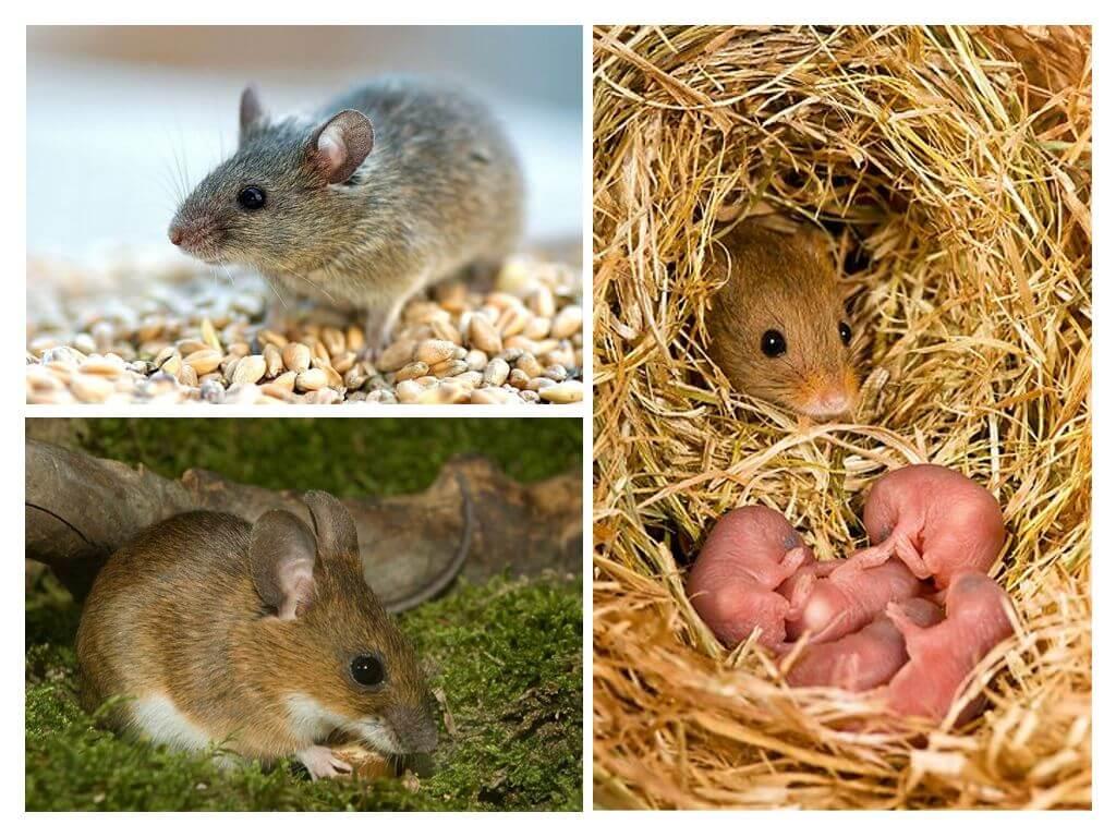 אורח חיים עכבר