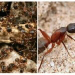 Forest red ants