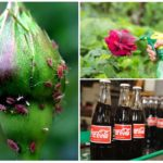 Aphid carbonated drinks