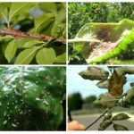 Harm caused by aphids