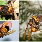 Asian giant hornet killer