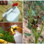 Chemicals against the Colorado potato beetle